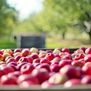 apples 1004886 1280 180x180 Aktualności