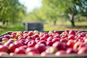 apples 1004886 1280 300x200 Jak będzie się rozwijał eksport w 2016 roku?